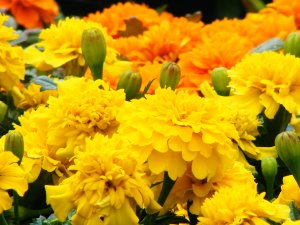 Marvelous Marigolds